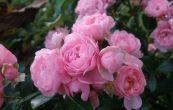 růže Princessin - Rosa Princessin