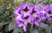 Pěnišník Blue Peter - Rhododendron Blue Peter