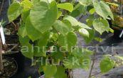 zmarlika čínská - Cercis chinensis