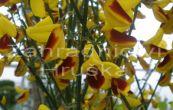 čilimník Firefly - Cytisus Firefly