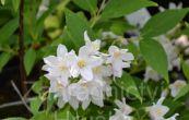 trojpuk - Deutzia × kalmiiflora