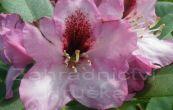 Pěnišník Kokardia - Rhododendron Kokardia