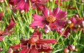 krásnoočko přeslenité Limerock Ruby - Coreopsis verticillata Limerock Ruby