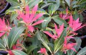 pieris japonský Debutante - Pieris japonica Debutante