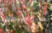 blýskalka Fraserova Little Red Robin - Photinia × fraseri Little Red Robin