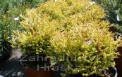 zerav západní Golden Tuffet - Thuja occidentalis Golden Tuffet