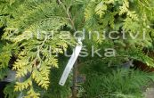 cypřišek Lawsonův Golden Wonder - Chamaecyparis lawsoniana Golden Wonder