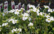 huseník kavkazský Little Treasure White - Arabis caucasica Little Treasure White