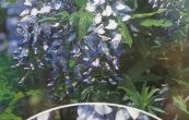wistárie čínská Prolific - Wisteria sinensis Prolific