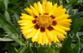 krásnoočko - Coreopsis