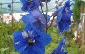 stračka Blue Bird - Delphinium Blue Bird