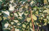 břečťan popínavý - Hedera helix