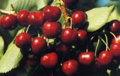 třešeň obecná Halka - Prunus avium Halka