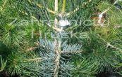 jedle ojíněná Fastigiata - Abies concolor Fastigiata
