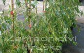 bříza bělokorá Gracilis - Betula pendula Gracilis