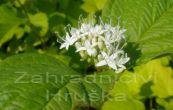 svída bílá Sibirica - Cornus alba Sibirica