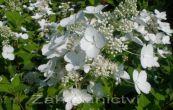 hortenzie latnatá Pink Lady - Hydrangea paniculata Pink Lady