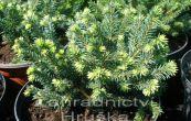 smrk ztepilý Pumila Nigra - Picea abies Pumila Nigra