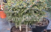 smrk omorika Treplicensis (na kmínku) - Picea omorika Treplicensis (na kmínku)