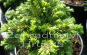 smrk ztepilý Prokopka - Picea abies Prokopka