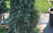 jalovec polehlý Icee Blue - Juniperus horizontalis Icee Blue