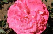 růže Cantilena Bohemica - Rosa Cantilena Bohemica