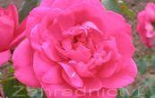 růže Parade - Rosa Parade