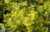 tavolník japonský Golden Carpeth - Spiraea japonica Golden Carpeth