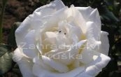 růže Mont Shasta - Rosa Mont Shasta