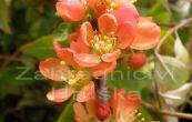 kdoulovec japonský Sargentii - Chaenomeles japonica Sargentii