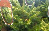 smrk východní Golden Start - Picea orientalis Golden Start