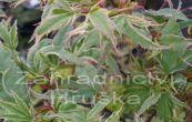 javor dlanitolistý Butterfly - Acer palmatum Butterfly
