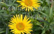 oman mečolistý - Inula ensifolia