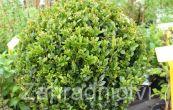 zimostráz - Buxus microphylla