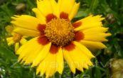 krásnoočko Heliot Yellow/Red - Coreopsis Heliot Yellow/Red