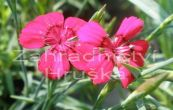 hvozdík kropenatý Leuchtfunk - Dianthus deltoides Leuchtfunk