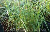 ostřice muskingumenská Little Midge - Carex muskingumensis Little Midge