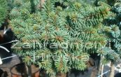 smrk ztepilý Svah - Picea abies Svah