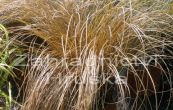 ostřice chocholatá Bronco - Carex comans Bronco