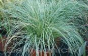 ostřice chocholatá Mint Curls - Carex comans Mint Curls