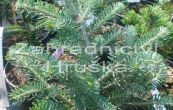 jedle Discus - Abies × koreocarpa Discus