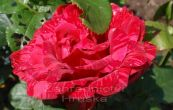 růže International - Rosa International