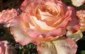 růže Kráska - Rosa Kráska