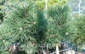 borovice kleč Krauskopf (na kmínku) - Pinus mugo Krauskopf (na kmínku)