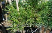 borovice kleč Michal - Pinus mugo Michal