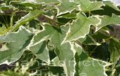 javor mléč Drummondii - Acer platanoides Drummondii