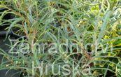 krušina olšová Asplenifolia (na kmínku) - Frangula alnus Asplenifolia (na kmínku)
