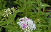 tavolník japonský Genpei - Spiraea japonica Genpei