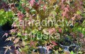 javor dlanitolistý Redwine - Acer palmatum Redwine