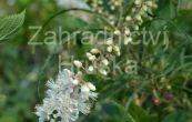 jochovec olšolistý Pink Spire - Clethra alnifolia Pink Spire